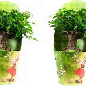 Ficus Green Kinky Sprookjesboom ( 2 Stuks )