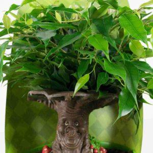 Choice of Green  - Ficus benjamina Green Kinky Efteling Sprookjesboom - set van 2 stuks - Kamerplant in Kwekers pot ⌀14 cm - Hoogte ↕30 cm
