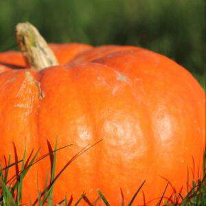 Verse pompoen - herfst decoratie - 1 stuk - diameter ca. 38cm - Halloween